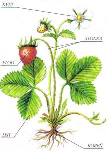 Základné časti kvitnúcej rastliny sú koreň, stonka, list a kvet